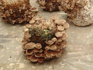 3_6 El delicioso  y saludable hongo Shiitake