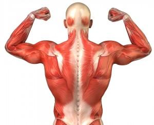 masa muscular quema calorias