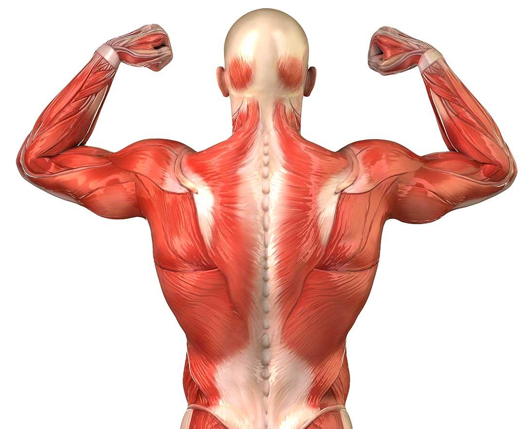 estructura del tejido muscular - Mind Map